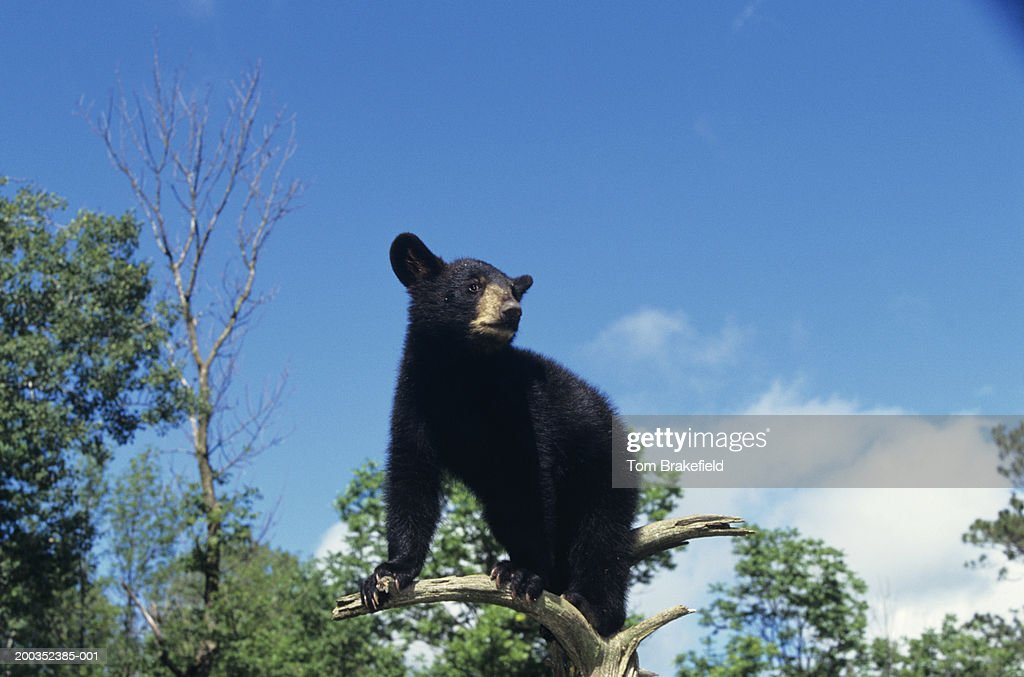 American black bear (Ursus americanus) cub, Minnesota, USA : Stock Photo