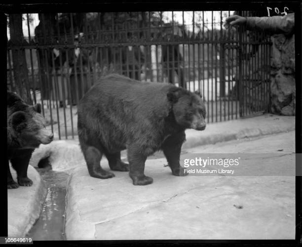 American Black Bear in a cage man's hand on left side of photo Lincoln Park Zoo mammal Chicago Illinois 1900