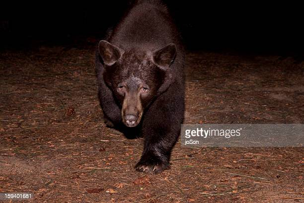 American black bear (Ursus americanus) in forest
