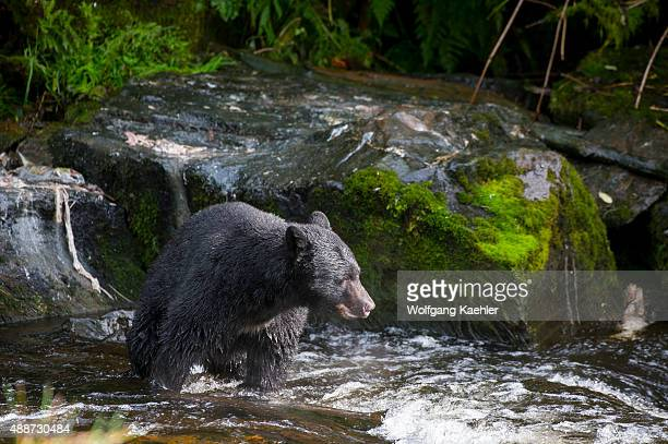 American black bear looking for salmon at creek at Neets Bay fish hatchery Behm Canal in Southeast Alaska near Ketchikan USA