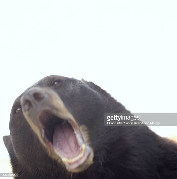 American black bear (Ursus americanus) roaring, close-up