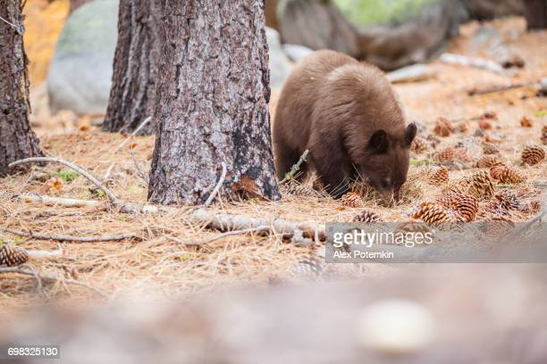 American black bear, Ursus Americanus, feeding with cedar cones in forest in the Yosemite National Park