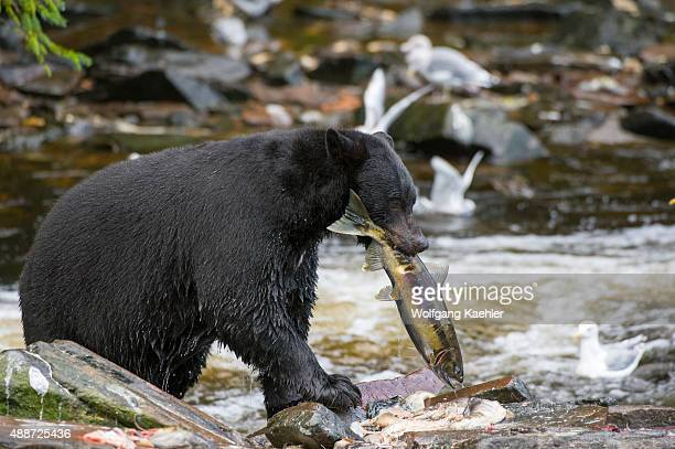 American black bear with salmon at creek at Neets Bay fish hatchery Behm Canal in Southeast Alaska near Ketchikan USA