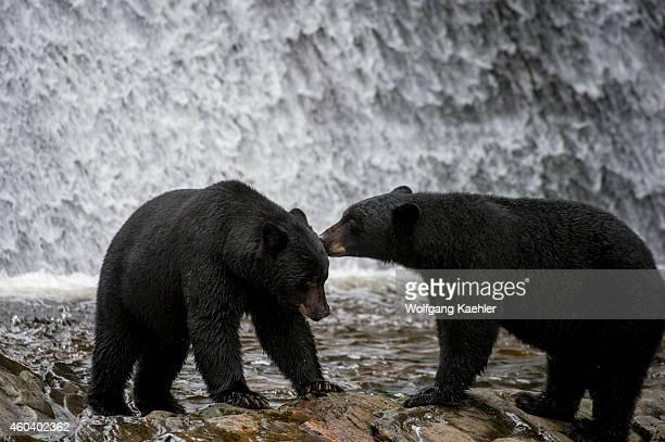 American black bears at waterfall at Neets Bay fish hatchery Behm Canal in Southeast Alaska near Ketchikan USA