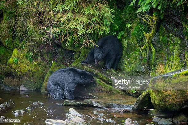 American black bears fighting at creek at Neets Bay fish hatchery Behm Canal in Southeast Alaska near Ketchikan USA
