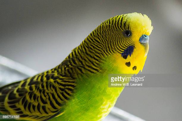 American budgie with pinned eyes