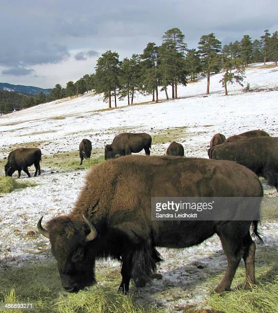 American Buffalo in Colorado