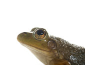 A small American bullfrog sitting on white background