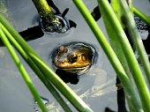 American Bullfrog in the wetlands.