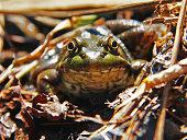 American Bullfrog in wet leaves