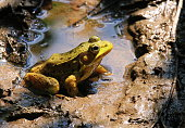 Photographed this cute American Bullfrog at Walney Pond, Ellanor C Lawrence Park, Fairfax County, Virginia.