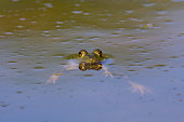 An American Bullfrog in the Milwaukee River in summer.