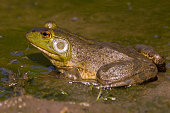 An American Bullfrog near the Milwaukee River in summer.