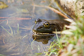 An American Bullfrog hanging out in the shallow end of a pond.