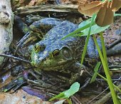 An American Bullfrog sits in the swamp at Smith Oaks Sanctuary and Rookery, Houston Audubon, High Island, Texas.