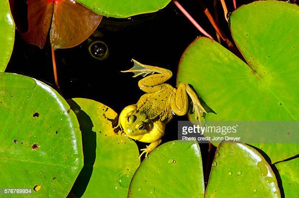American Bullfrog Ready to Croak
