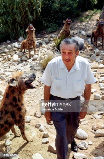 American businessman animator and director Walt Disney inspects a hyena exhibit at the Disneyland theme park Anaheim California 1964