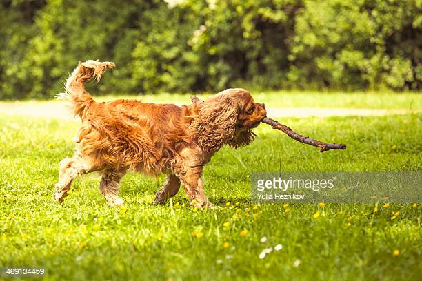 American cocker spaniel dog outdoors