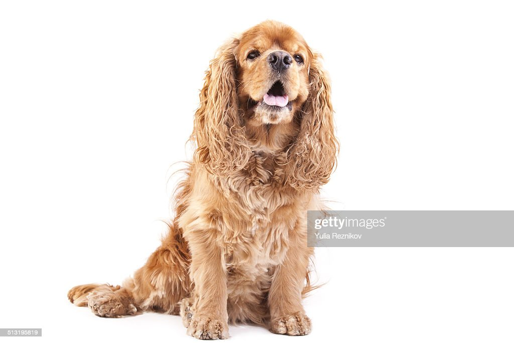American Cocker Spaniel Dog (studio shot)