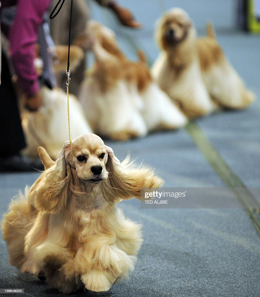 American cocker spaniel dogs are displayed as they compete in the conformation (fashion show) at the Asia-Pacific Dog Show in Manila on February 24, 2012. The show, organized by the Philippine Canine Club, is being held to promote and encourage love for purebred dogs, and will run until February 26.