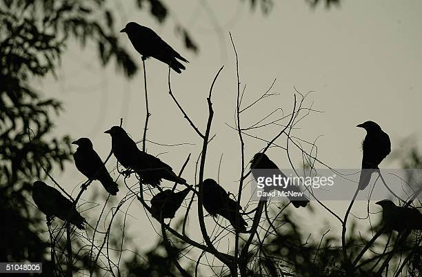 American crows aggregate in trees in an area where dead and dying crows have become an increasingly common site near the San Gabriel River on July 9...
