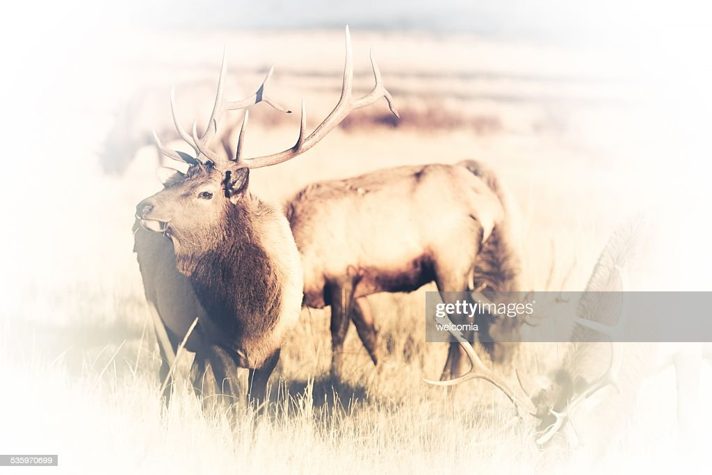 American Elks Faded to White : Stock Photo