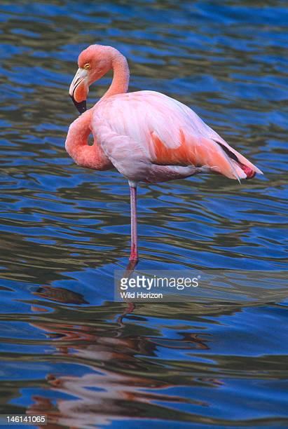 American flamingo also known as the Caribbean flamingo sleeping while standing on one leg Phoenicopterus ruber Isla Floreana Galapagos Islands Ecuador