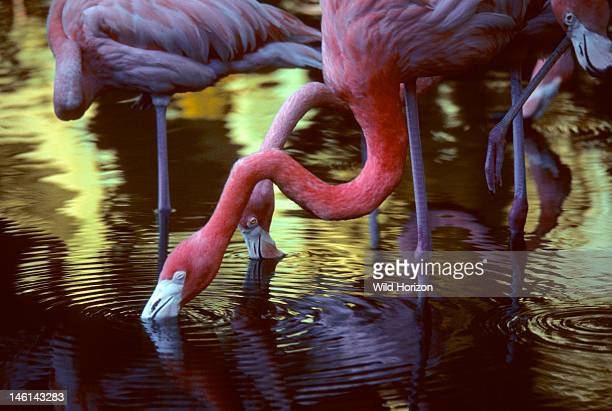 American flamingo filterfeeding Phoenicopterus ruber Sarasota Jungle Gardens Sarasota Florida USA Photographed under controlled conditions