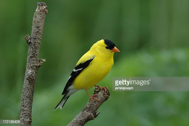 American Gold Finch(Male) (Carduelis tristis)