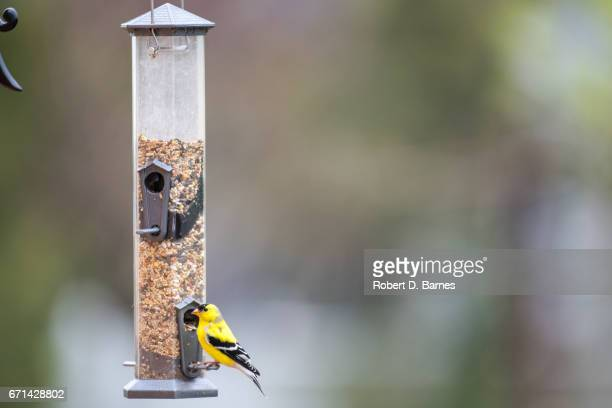 American Goldfinch at Feeder