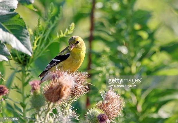 American Goldfinch On Plant