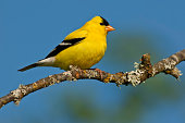 The American Goldfinch (Carduelis Tristis) is the state bird of Washington, Iowa and New Jersey. It is a fairly common summer resident to the Pacific Northwest, migrating to the southern USA and Mexic