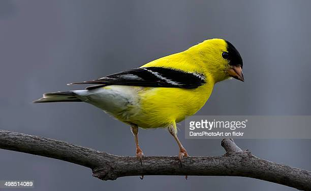 American goldfinch perched in the garden