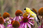 American goldfinch perched on pink flowers eating seeds chasing away a bee.