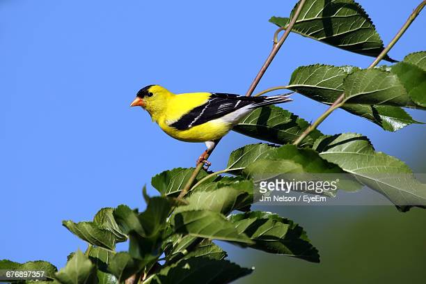 American Goldfinch Perching On Twig Against Blue Sky