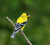"""American Goldfinch,female, perched on branch"""
