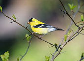 American goldfinch (Spinus tristis) the eastern goldfinch,  North American bird
