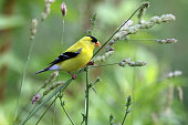 An American Goldfinch eating seed off a plant.