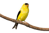 American goldfinch at rest on branch. Isolated on a white background.