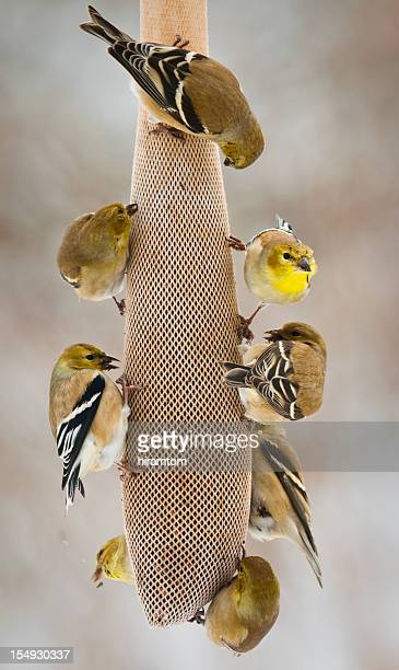 American Goldfinches, Spinus tristis, eating Bird Seed.