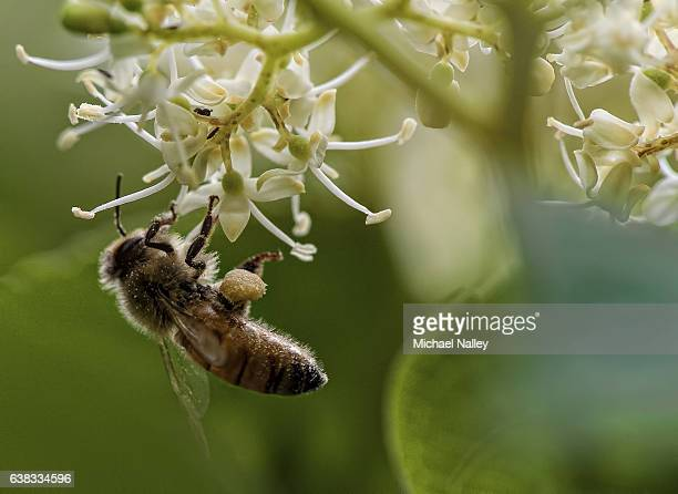 American Honey Bee