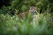 American jaguar female in the nature habitat, panthera onca, wild brasil, brasilian wildlife, pantanal, green jungle, big cats