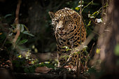 American jaguar in the nature habitat of brazilian jungle, panthera onca, wild brasil, brasilian wildlife, pantanal, green jungle, big cats, dark background, low key