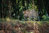 American jaguar male in the nature habitat, panthera onca, wild brasil, brasilian wildlife, pantanal, green jungle, big cats