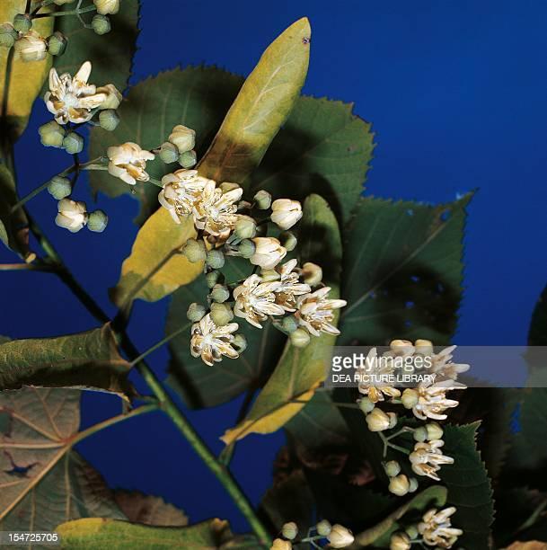 American Linden leaves and flowers Malvaceae