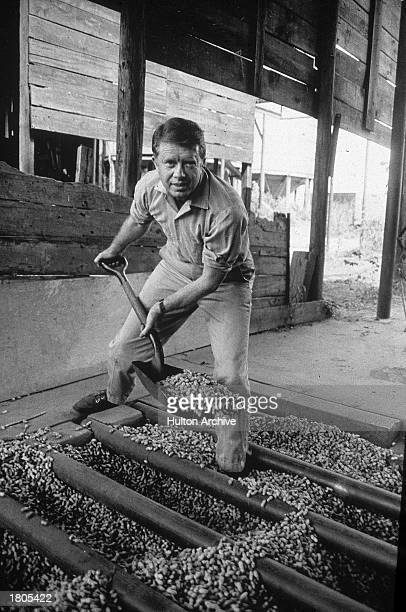 American politician Jimmy Carter looks up while shoveling peanuts on a peanut farm 1970s