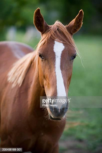 American Quarter horse, outdoors, close-up