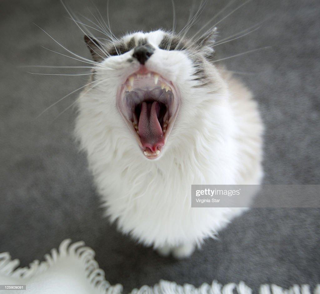 American Ragdoll Cat Yawning Stock