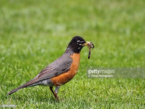American Robin holding worm in beak