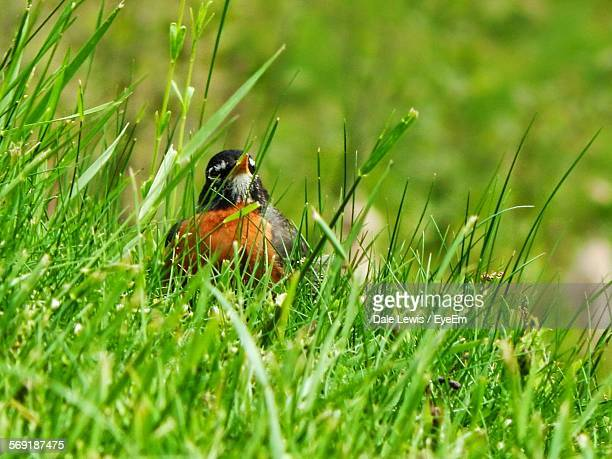 American robin on grassy field